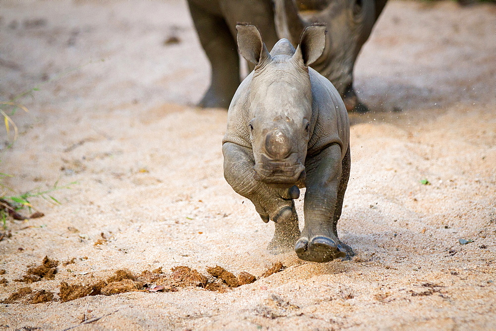 A rhino calf, Ceratotherium simum, runs towards the camera in sand, legs raised, sand in air, Londolozi Game Reserve, Sabi Sands, Greater Kruger National Park, South Africa