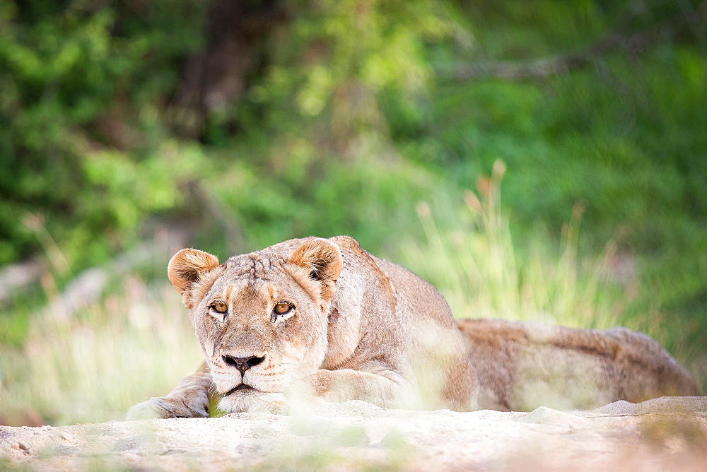 A lioness, Panthera leo, lies on sand, head resting on feet, alert, greenery in background, Londolozi Game Reserve, Sabi Sands, Greater Kruger National Park, South Africa