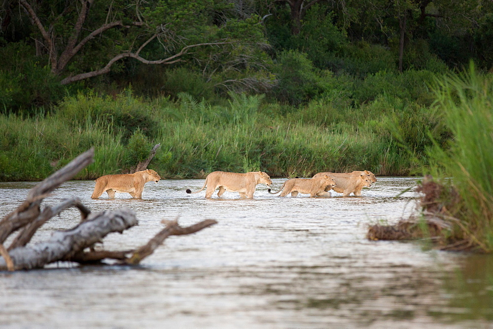 A lion pride, Panthera leo, cross a river in a line in knee deep water, following each other, greenery in background, Londolozi Game Reserve, Sabi Sands, Greater Kruger National Park, South Africa