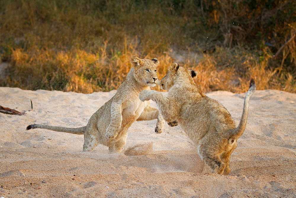 Two lion cubs, Panthera leo, stand on their hind legs in sand while playing, paws in the air, sand in the air, Londolozi Game Reserve, Sabi Sands, Greater Kruger National Park, South Africa