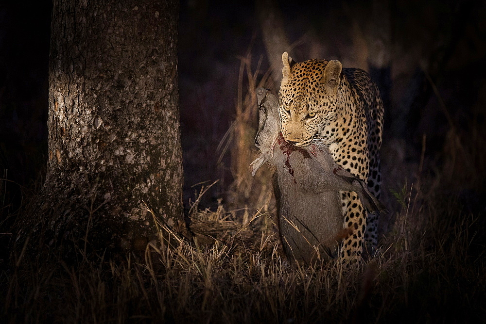A leopard, Panthera pardus, stands while holding a dead warthog in its mouth, Phacochoerus africanus, blood on its neck, at night lit up by spotlight, Londolozi Game Reserve, Sabi Sands, Greater Kruger National Park, South Africa