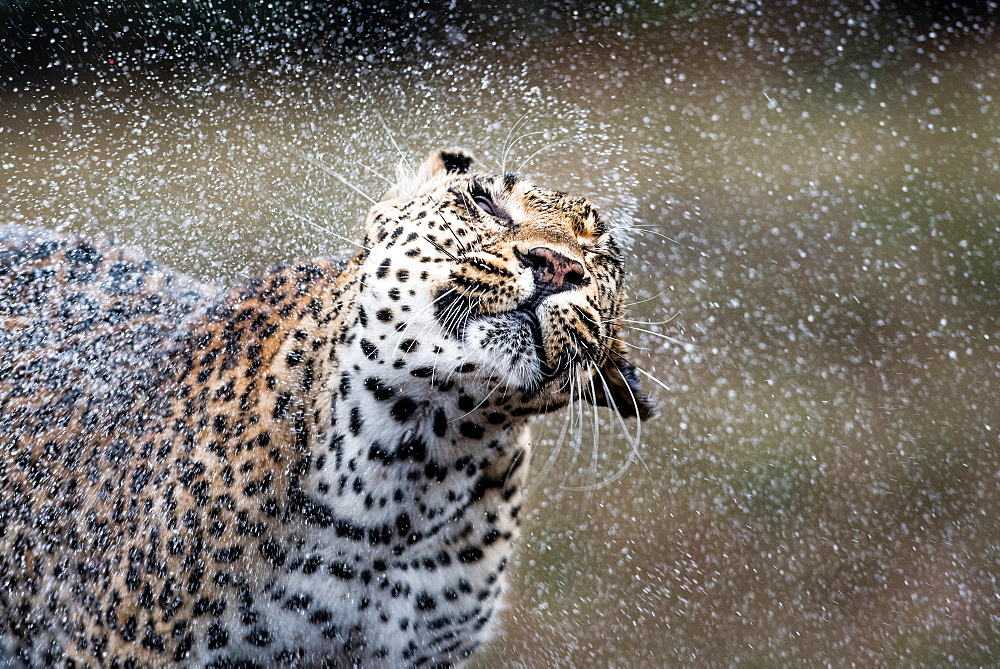 A leopard, Panthera pardus, shakes water off itself, water sprays droplets in the air, wet fur, eyes closed, Londolozi Game Reserve, Sabi Sands, Greater Kruger National Park, South Africa - 1174-5018