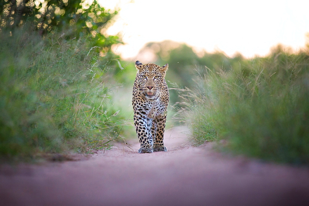 A leopard, Panthera pardus, walks towards the camera on sand road, direct gaze, ears facing backward, mouth open, long green grass, Londolozi Game Reserve, Sabi Sands, Greater Kruger National Park, South Africa