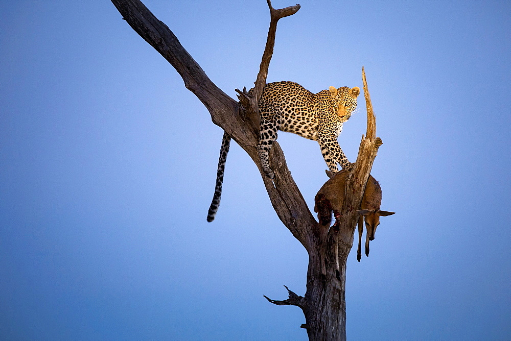 A leopard, Panthera Pardus, stands in a tree at dusk, looking away, with a common duicker carcass, Sylvicapra grimmia, Londolozi Game Reserve, Sabi Sands, Greater Kruger National Park, South Africa
