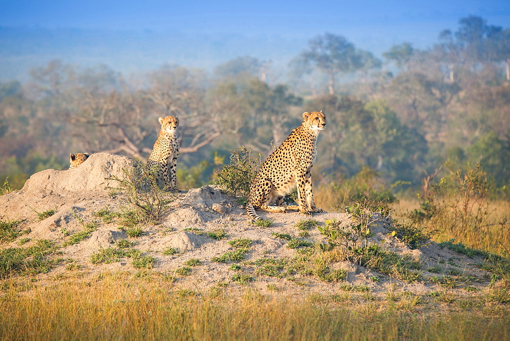 Cheetahs, Acinonyx jubatus, sit on a termite mound in the sun, looking away, Londolozi Game Reserve, Sabi Sands, Greater Kruger National Park, South Africa