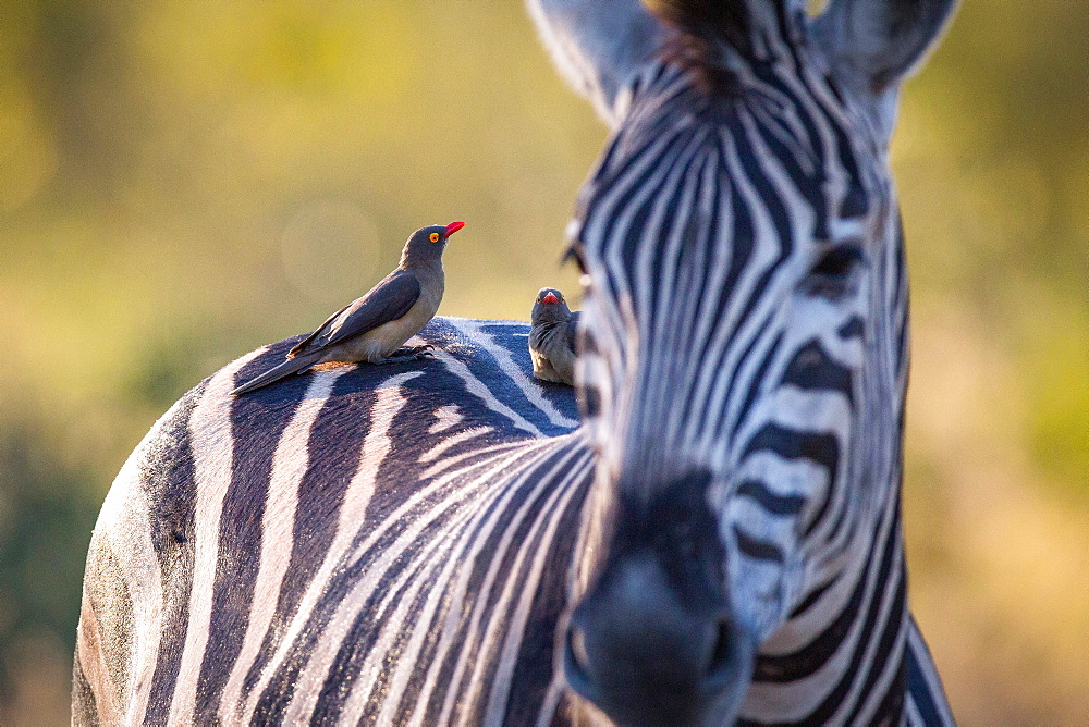 A zebra, Equus quagga, stands with red-billed oxpeckers sitting on its back, Buphagus erythrorhynchus, Londolozi Game Reserve, Sabi Sands, Greater Kruger National Park, South Africa