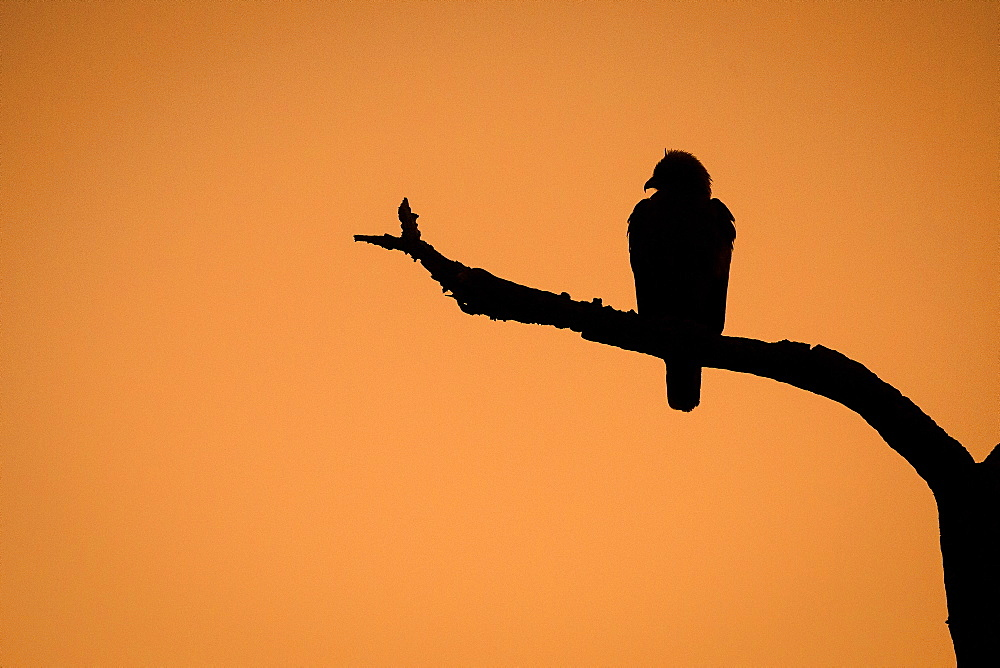 The silhouette of a Wahlberg's eagle, Hieraaetus wahlergi, perched don a tree branch against brown orange sky, Londolozi Game Reserve, Sabi Sands, Greater Kruger National Park, South Africa