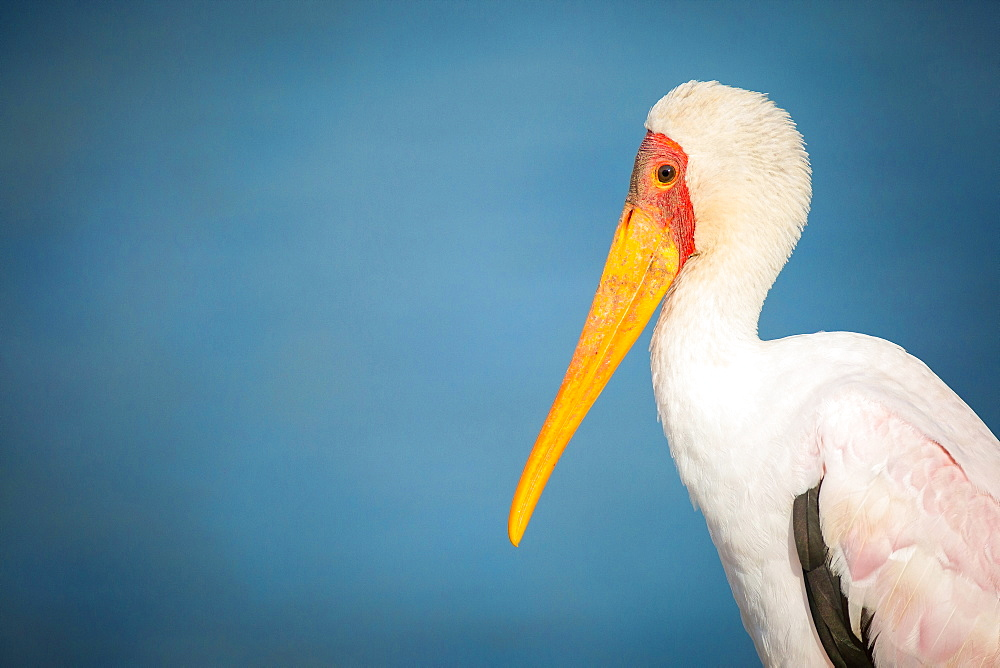 A side profile of a yellow-billed stork, Mycteria ibis, against yellow sky, Londolozi Game Reserve, Sabi Sands, Greater Kruger National Park, South Africa - 1174-5034