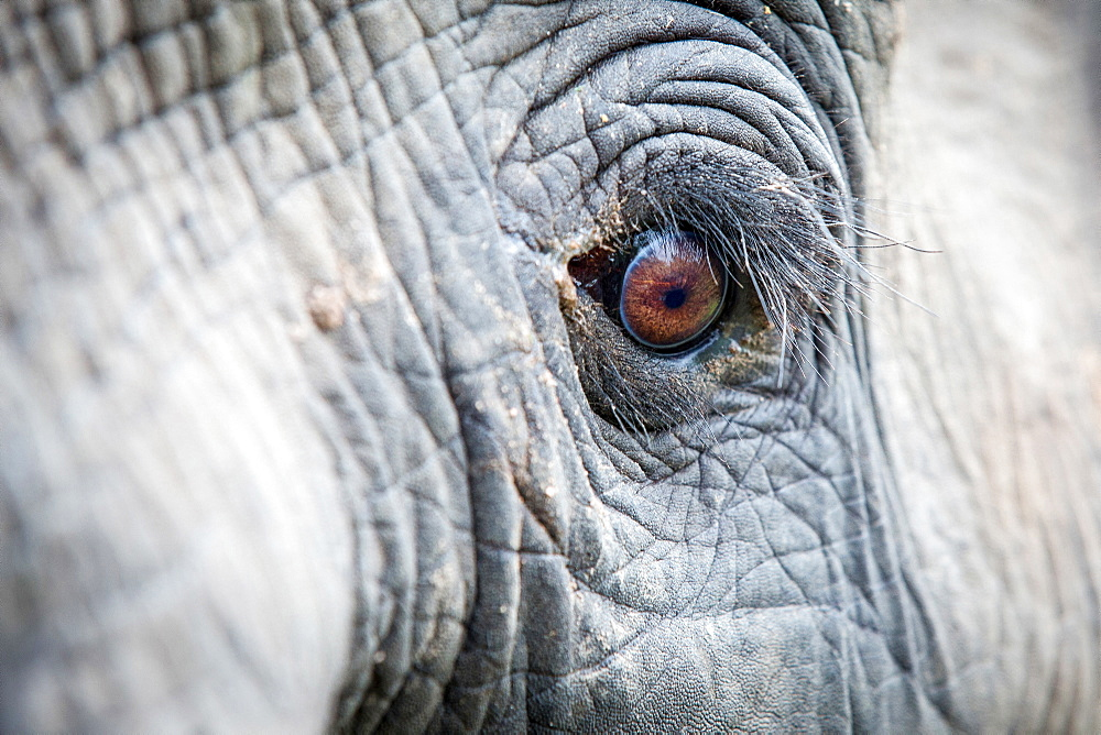 An elephant's eye, Loxodonta africana, long eyelashes, creased skin, direct gaze, Londolozi Game Reserve, Sabi Sands, Greater Kruger National Park, South Africa