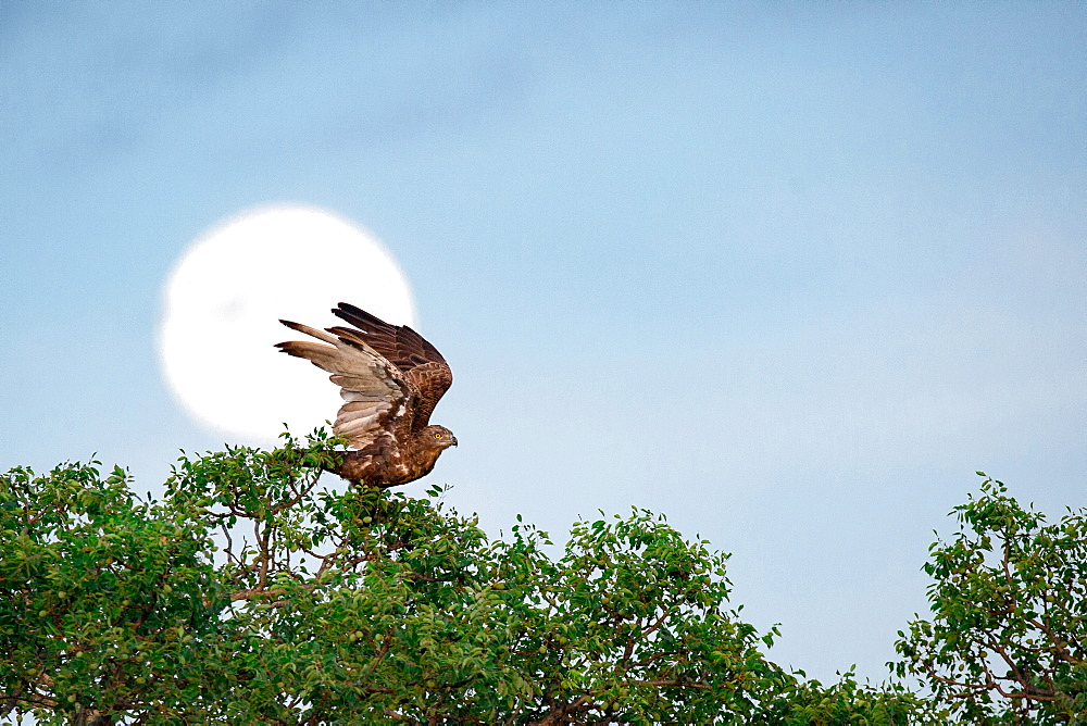 A brown snake eagle, Circaetus cinereus, stands at the crown of a tree, wings up about to fly, full moon in background, yellow eyes, Londolozi Game Reserve, Sabi Sands, Greater Kruger National Park, South Africa