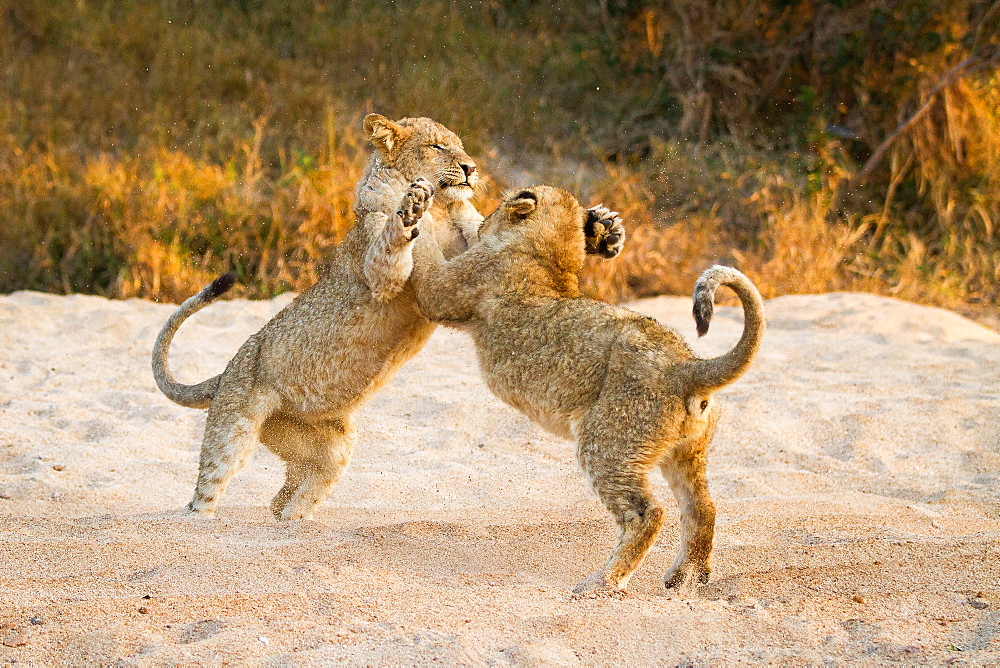 Two lion cubs, Panthera leo, stand on their hind legs in sand while playing, paws in the air, tails up, sand in the air, Londolozi Game Reserve, Sabi Sands, Greater Kruger National Park, South Africa