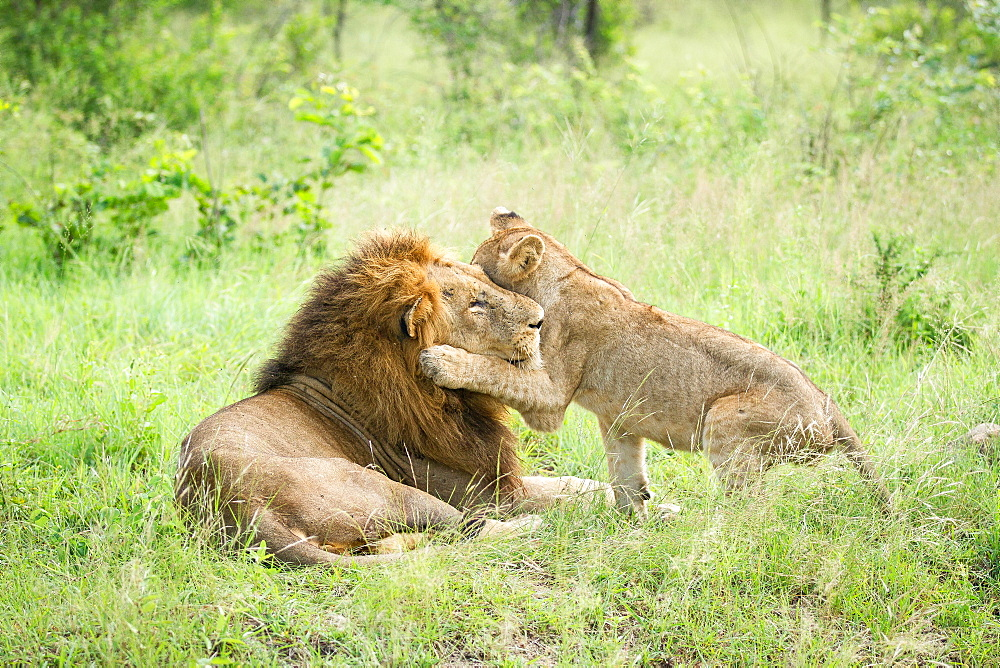A male lion, Panthera leo, lies in green grass, a lion cub wraps its from leg around male's head while playing, looking away, Londolozi Game Reserve, Sabi Sands, Greater Kruger National Park, South Africa