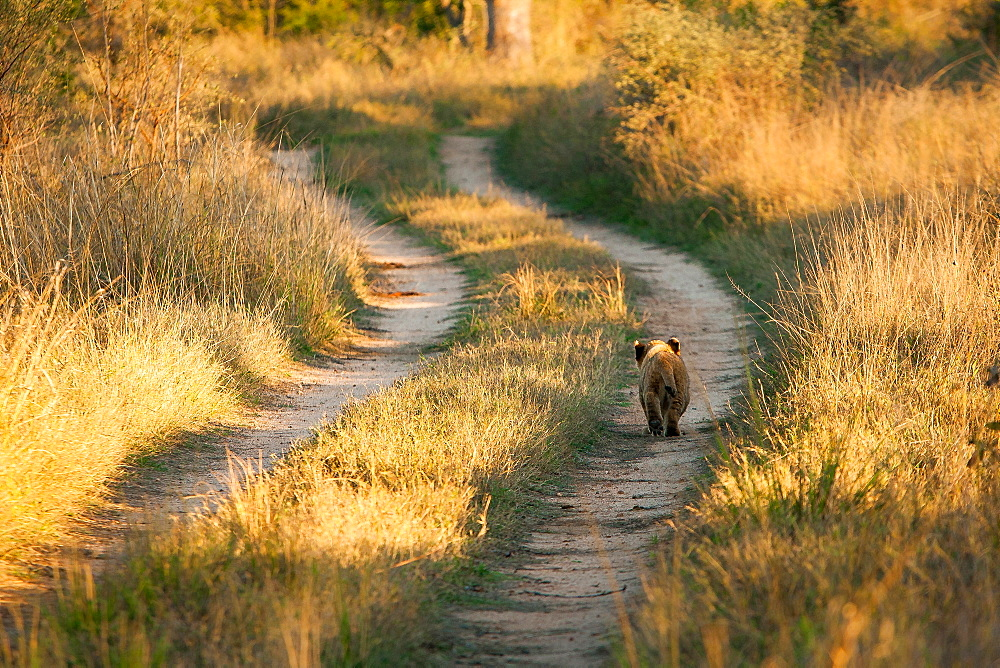 A young lion cub, Panthera leo, walks down the track of a road, back to camera, sunlight on green grass, Londolozi Game Reserve, Sabi Sands, Greater Kruger National Park, South Africa