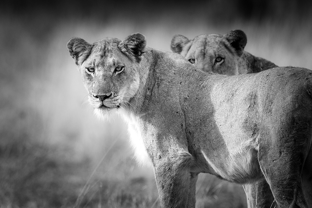 Two lions, Panthera leo, standing with alert, in black and white, Londolozi Game Reserve, Sabi Sands, Greater Kruger National Park, South Africa