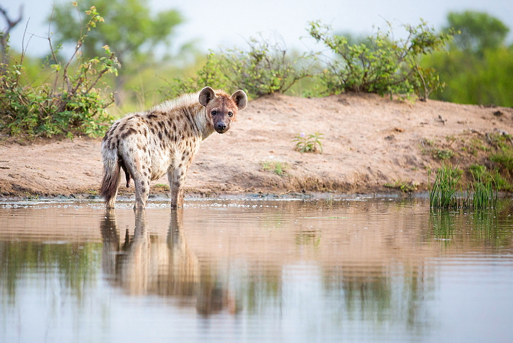 A spotted hyena, Crocuta crocuta, stands in shallow water, alert, bloody face, river bank in background, Londolozi Game Reserve, Sabi Sands, Greater Kruger National Park, South Africa - 1174-5052