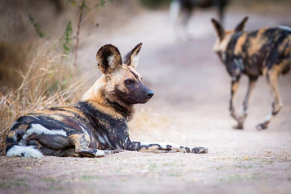 A wild dog, Lycaon pictus, lies on the ground, looking away, bloody face, ears perked, Londolozi Game Reserve, Sabi Sands, Greater Kruger National Park, South Africa - 1174-5055