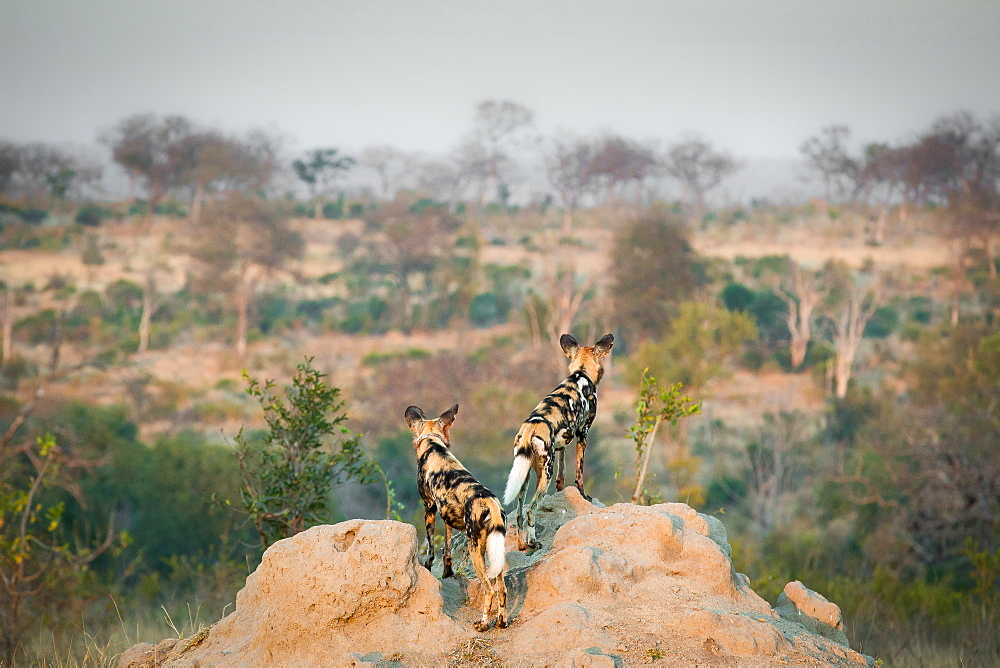 Two wild dog, Lycaon pictus, stand with their backs to the camera on a termite mound, looking away, landscape grass and trees in background, Londolozi Game Reserve, Sabi Sands, Greater Kruger National Park, South Africa