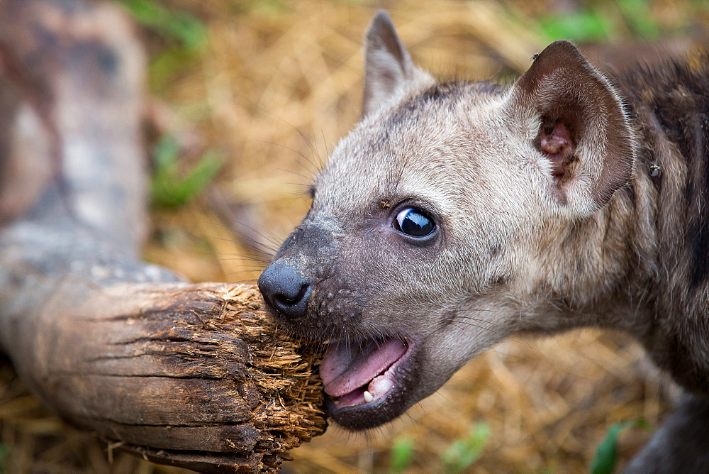 A spotted hyena cub, Crocuta crocuta, alert, chews a log, mouth open, Londolozi Game Reserve, Sabi Sands, Greater Kruger National Park, South Africa - 1174-5064