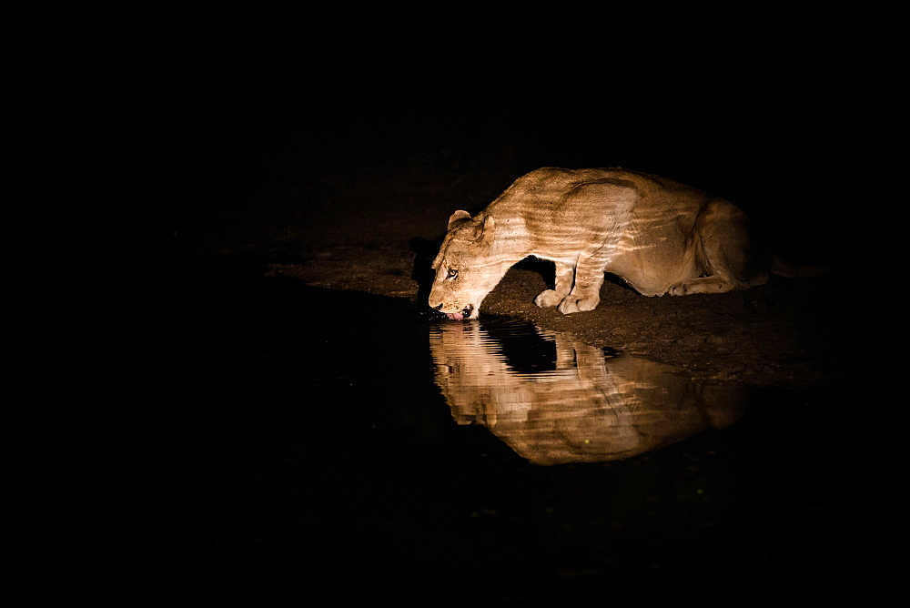 A lioness, Panthera leo, laps water at night, water reflection, ripples, lit up by spot light, Londolozi Game Reserve, Sabi Sands, Greater Kruger National Park, South Africa