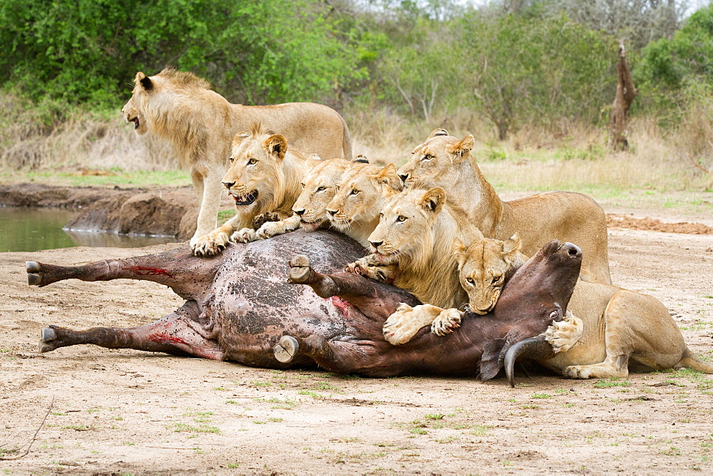 A pride of lions, Panthera leo, lie over a buffalo carcass, Syncerus caffer, looking away, biting neck of bloated buffalo, Londolozi Game Reserve, Sabi Sands, Greater Kruger National Park, South Africa