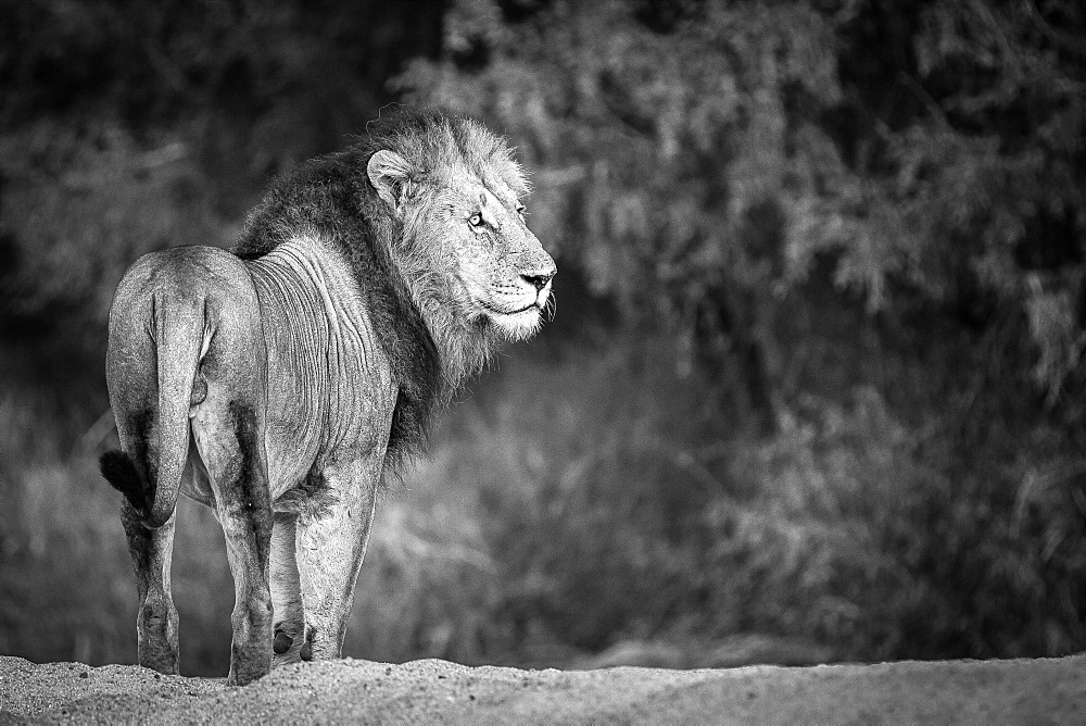 A male lion, Panthera leo, stands with back to camera, looking away, in black and white, Londolozi Game Reserve, Sabi Sands, Greater Kruger National Park, South Africa - 1174-5071