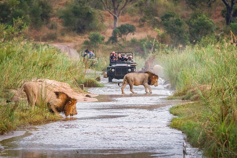 Two male lions, Panthera leo, walk across a shallow river, one crouching drinking water, two game vehicles in background carrying people, Londolozi Game Reserve, Sabi Sands, Greater Kruger National Park, South Africa