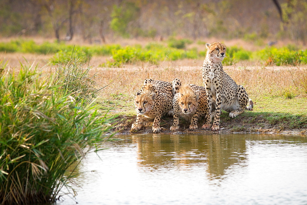 Three cheetah,  Acinonyx jubatus, stand and crouch at a waterhole looking away, Londolozi Game Reserve, Sabi Sands, Greater Kruger National Park, South Africa - 1174-5078