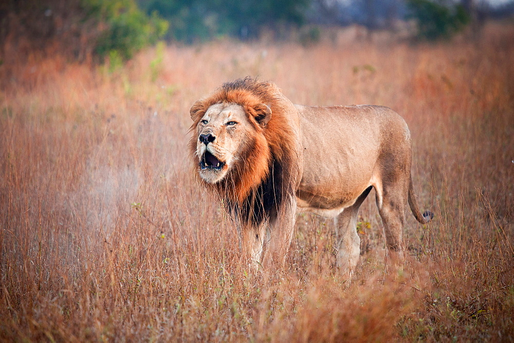 A male lion, Panthera leo, stand sin brown grass, opens mouth, roars, steam coming out of mouth, Londolozi Game Reserve, Sabi Sands, Greater Kruger National Park, South Africa