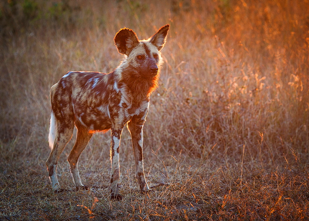 A wild dog, Lycaon pictus, stands in short brown grass at sunset, looking away, backlit, Londolozi Game Reserve, Sabi Sands, Greater Kruger National Park, South Africa