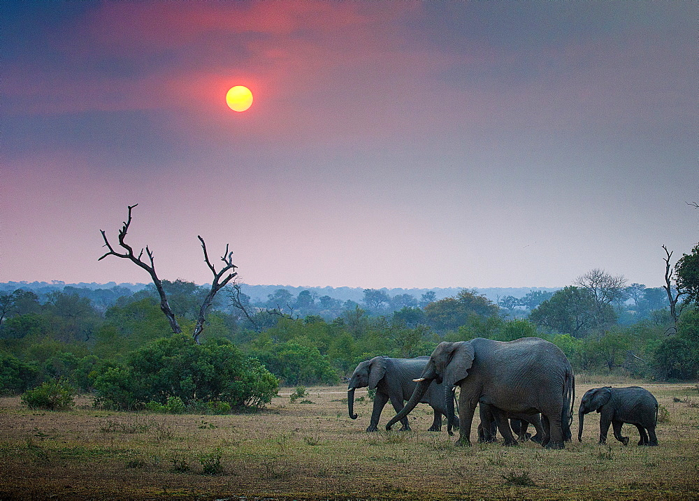 A herd of elephant, Loxodonta africana, walk through an open clearing, trees and bushes in background with sun setting, Londolozi Game Reserve, Sabi Sands, Greater Kruger National Park, South Africa