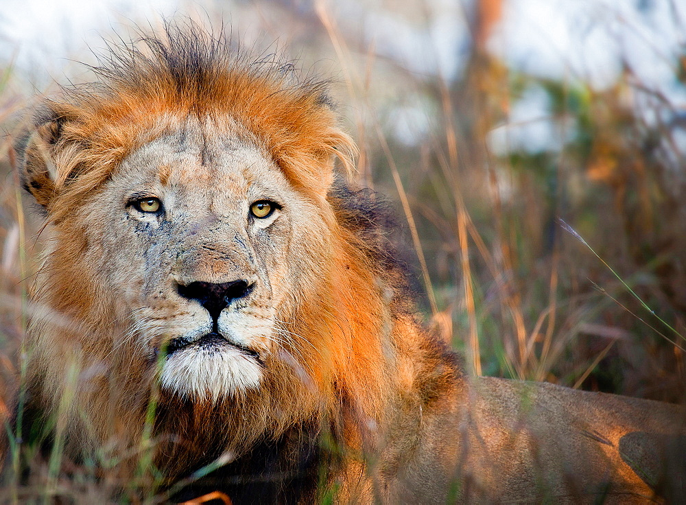 The head of a male lion, Panthera leo, alert, lying down, Londolozi Game Reserve, Sabi Sands, Greater Kruger National Park, South Africa - 1174-5090