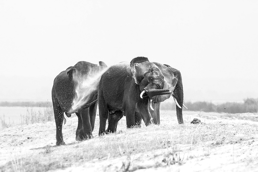 Three elephant, Loxodonta africana, stand on a sand bank, wet skin, spray sand with their trunk into the air, in black and white, Londolozi Game Reserve, Sabi Sands, Greater Kruger National Park, South Africa - 1174-5096