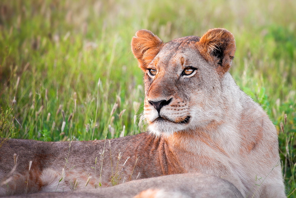 The upper body of a lioness, Panthera leo, lying in green grass, looking away, Londolozi Game Reserve, Sabi Sands, Greater Kruger National Park, South Africa