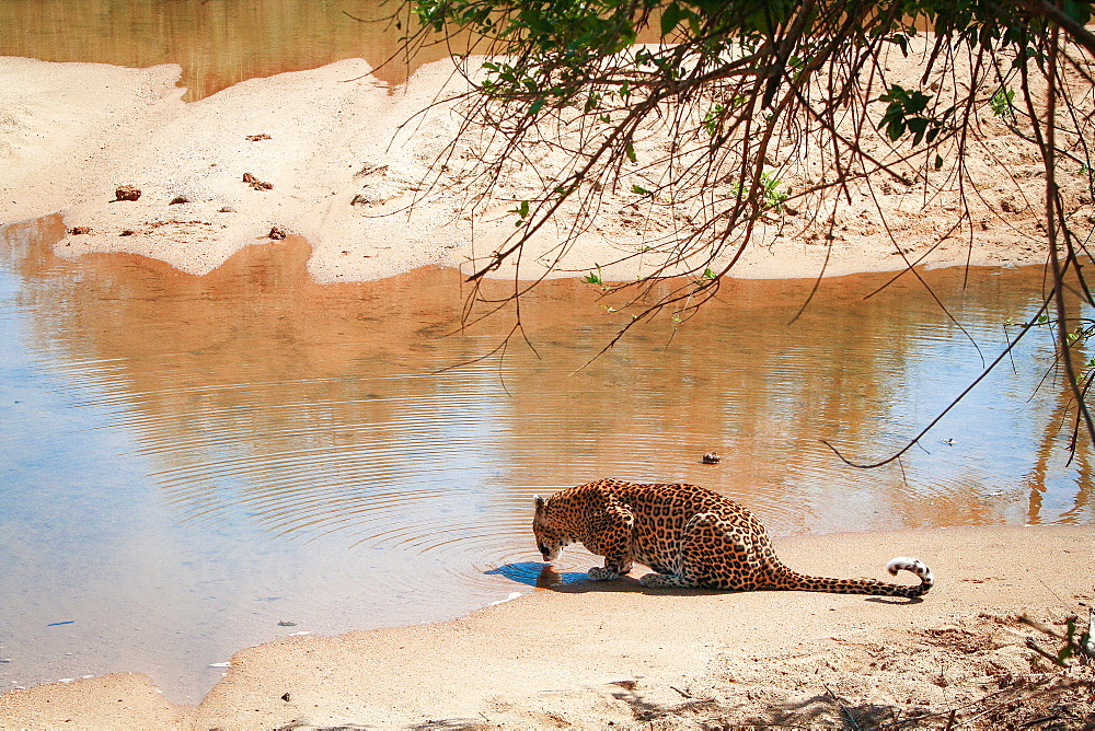 A leopard, Panthera pardus, lies on sand and laps at water from a river, back to camera, ripples in water, Londolozi Game Reserve, Sabi Sands, Greater Kruger National Park, South Africa - 1174-5104