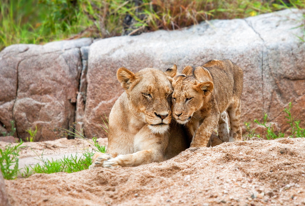A lion cub, Panthera leo, stands beside its mother who lies on the sand, eyes closed, touch heads, boulder in the background, Londolozi Game Reserve, Sabi Sands, Greater Kruger National Park, South Africa