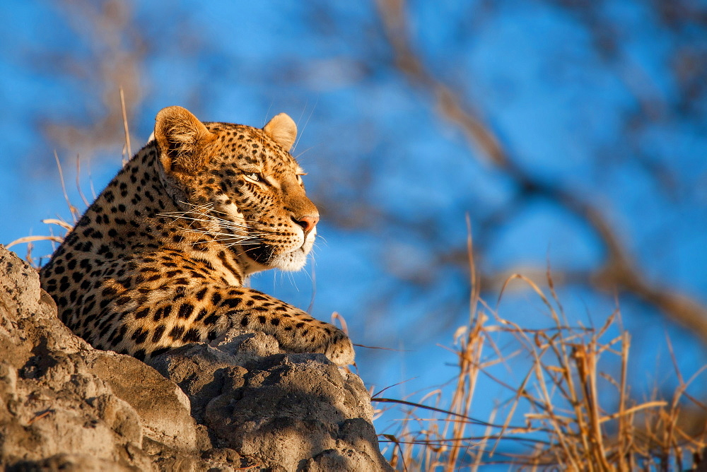 A leopard's head, Panthera pardus, lying on termite mound, looking away, blue sky background, Londolozi Game Reserve, Sabi Sands, Greater Kruger National Park, South Africa