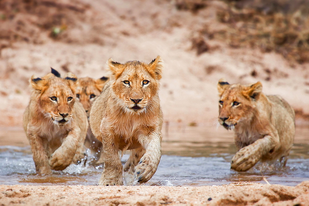 Lion cubs, Panthera leo, lies on a boulder, run through shallow water, direct gaze, Londolozi Game Reserve, Sabi Sands, Greater Kruger National Park, South Africa