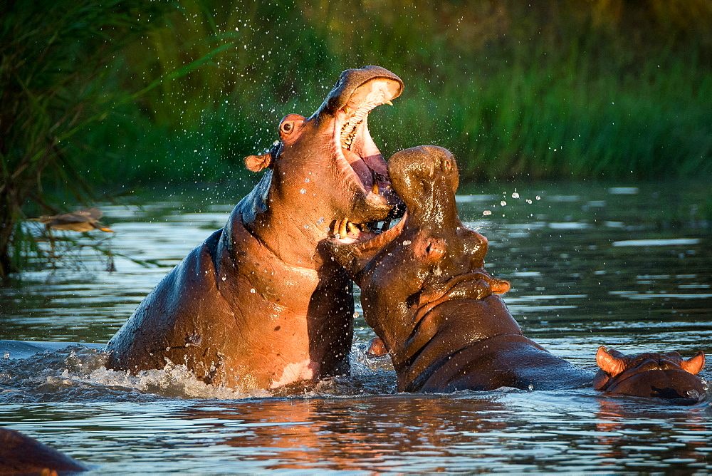 Two hippopotamus, Hippopotamus amphibius, fight in the water, open mouths showing teeth, Londolozi Game Reserve, Sabi Sands, Greater Kruger National Park, South Africa
