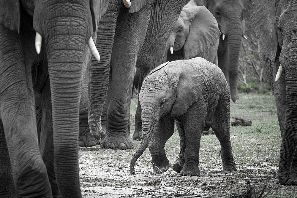 An elephant calf, Loxodonta africana, walks between other elephant adults, looking away, front leg lifted, Londolozi Game Reserve, Sabi Sands, Greater Kruger National Park, South Africa