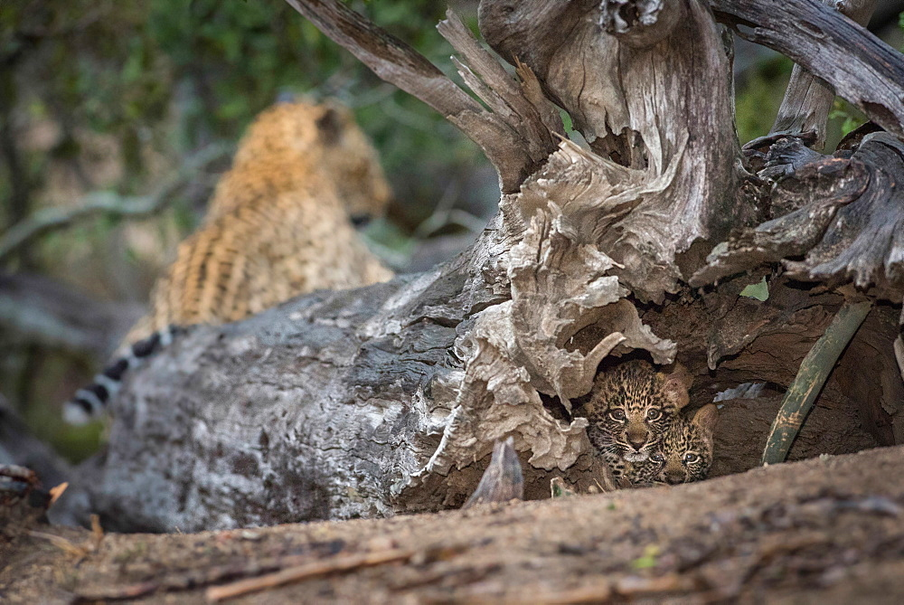 Two leopard cubs, Panthera pardus, alert, lying the hollow of a dead tree, mother leopard lying in background, Londolozi Game Reserve, Sabi Sands, Greater Kruger National Park, South Africa