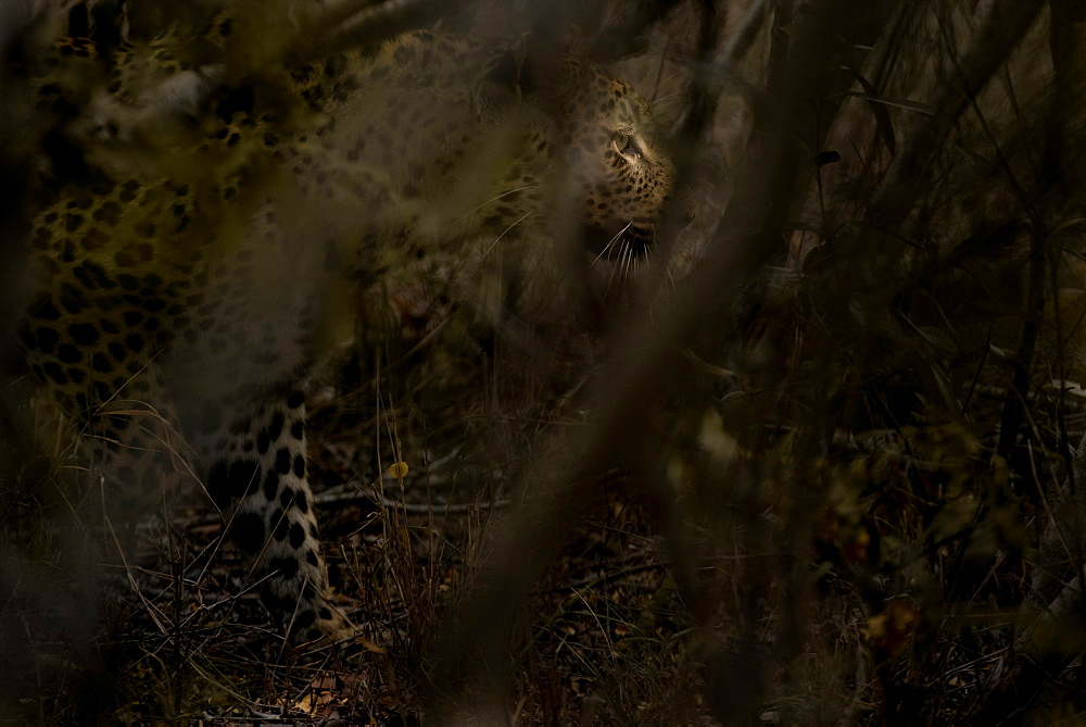 A leopard, Panthera pardus, walks through the bush, looking away, sunlight on eye, branches in foreground, Londolozi Game Reserve, Sabi Sands, Greater Kruger National Park, South Africa - 1174-5131