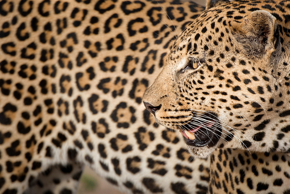 A leopard's head, Panthera pardus, looking away over shoulder, mouth open, rosettes on fur coat, white whiskers, Londolozi Game Reserve, Sabi Sands, Greater Kruger National Park, South Africa
