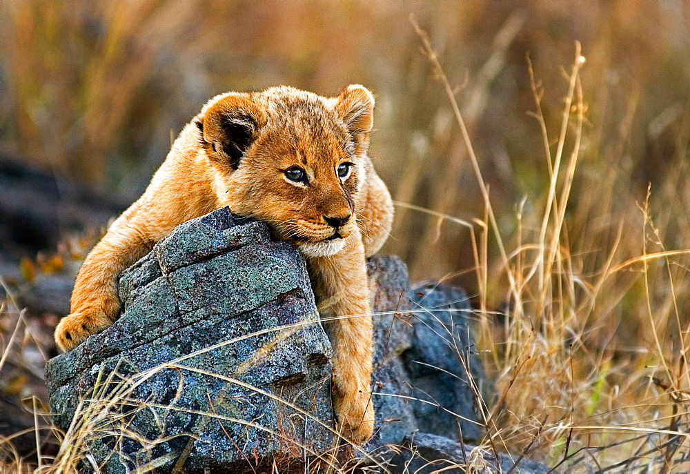 A lion cub, Panthera leo, lies on a boulder, draping its front legs over the rock, looking away, yellow golden coat, Londolozi Game Reserve, Sabi Sands, Greater Kruger National Park, South Africa