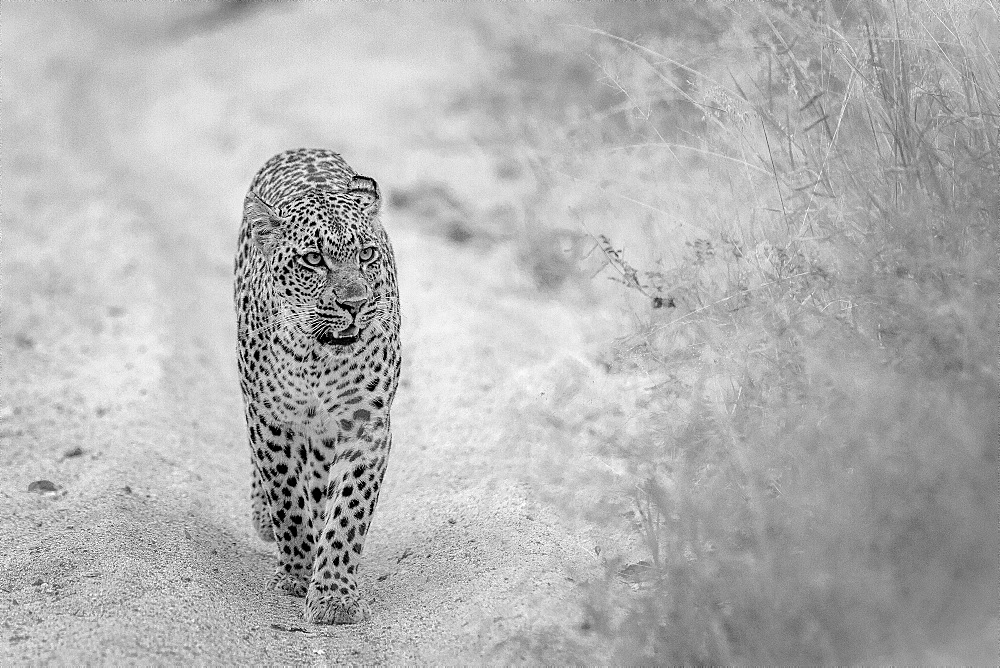A leopard, Panthera pardus, walks towards the camera on a sand road, looking away, ears back, mouth open, in black and white, Londolozi Game Reserve, Sabi Sands, Greater Kruger National Park, South Africa