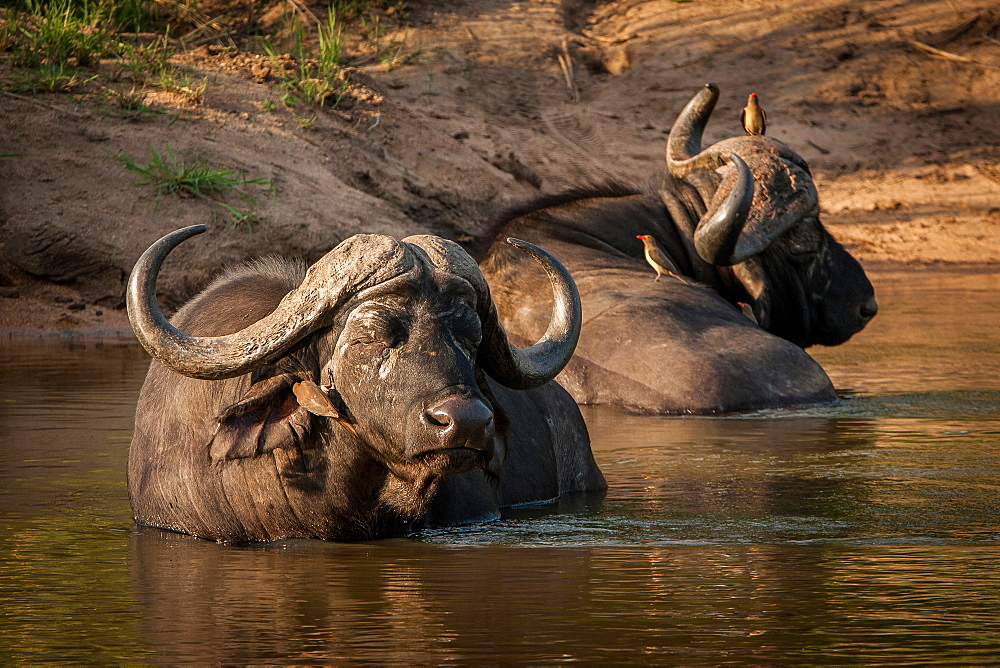 Two buffalo, Syncerus caffer, wallow and lie in the water, eyes closed, red-billed oxpeckers sit on them, Buphagus erythrorhynchus, Londolozi Game Reserve, Sabi Sands, Greater Kruger National Park, South Africa