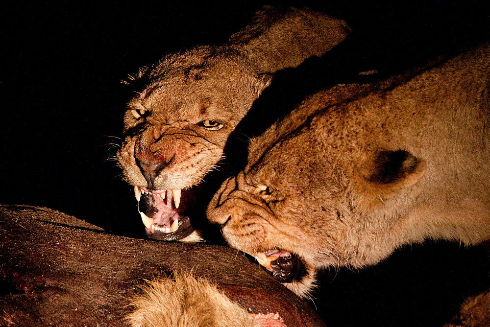 Two female lioness, Panthera leo, snarl at each other while standing over a carcass at night, Londolozi Game Reserve, Sabi Sands, Greater Kruger National Park, South Africa - 1174-5146