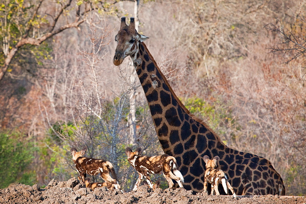 Three African wild dog, Lycaon pictus, walk in the foreground and look at a giraffe, Giraffa camelopardalis, as it walks in the background, Londolozi Game Reserve, Sabi Sands, Greater Kruger National Park, South Africa