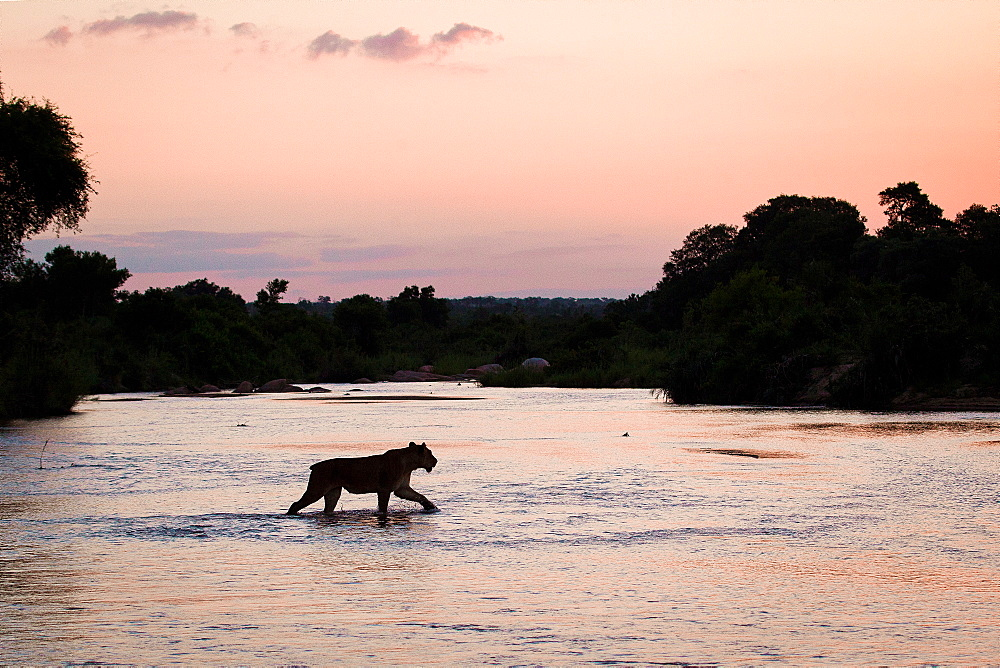 A silhouette of a lioness, Panthera leo, with short tail, walking across shallow river at sunset with tree silhouettes in the background, Londolozi Game Reserve, Sabi Sands, Greater Kruger National Park, South Africa