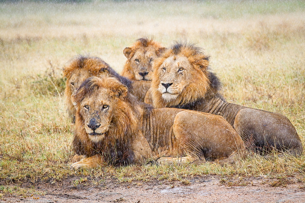 Four male lions, Panthera leo, lie in short brown grass in the rain, looking away, Londolozi Game Reserve, Sabi Sands, Greater Kruger National Park, South Africa