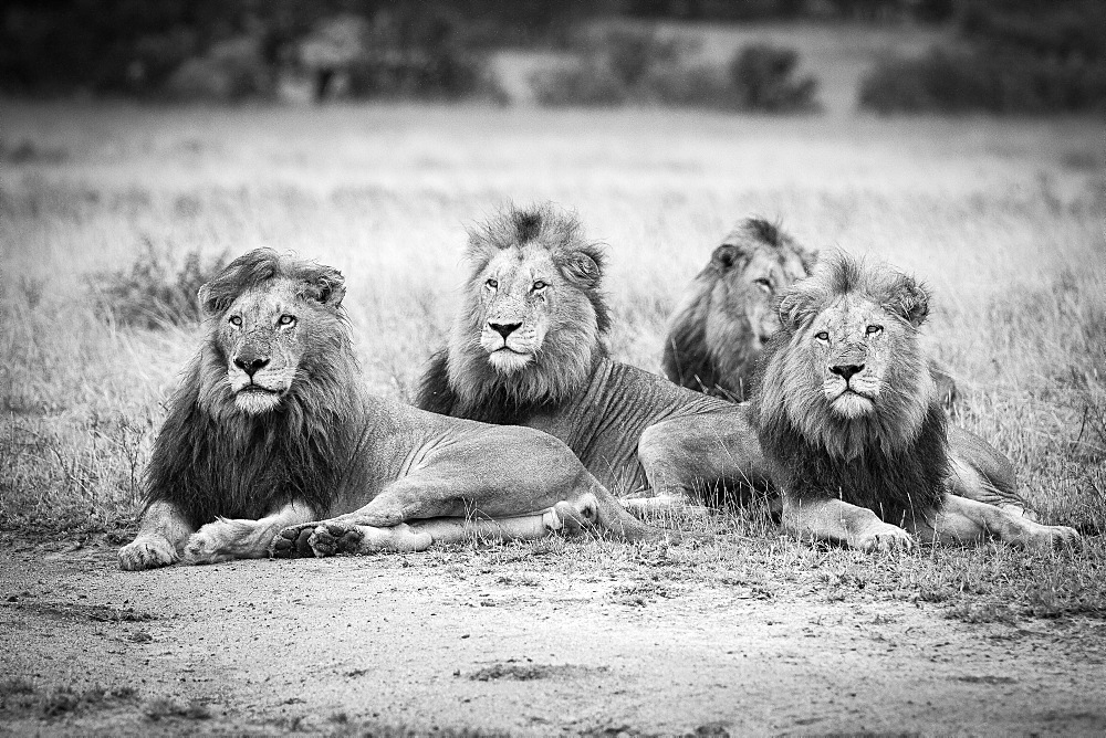 Four male lions, Panthera leo, lie in short brown grass, looking away, in black and white, Londolozi Game Reserve, Sabi Sands, Greater Kruger National Park, South Africa